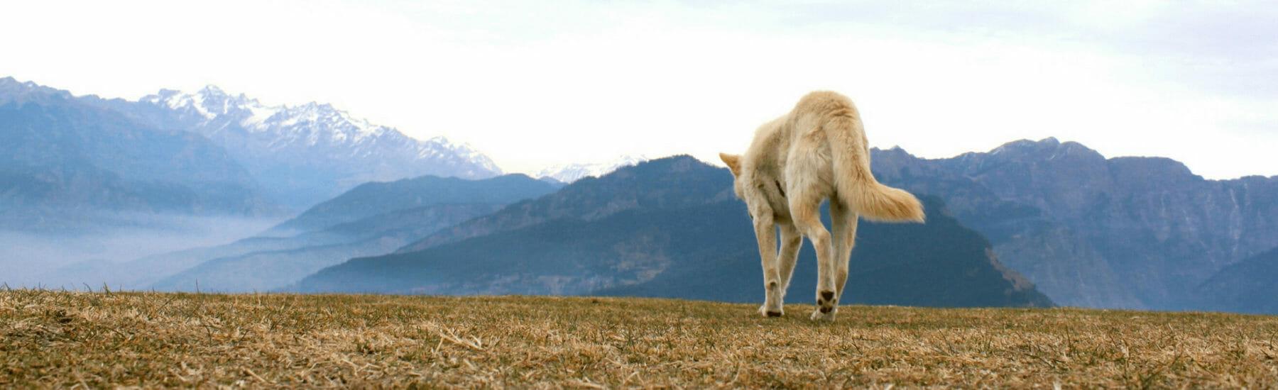 Gold dog walking towards mountains