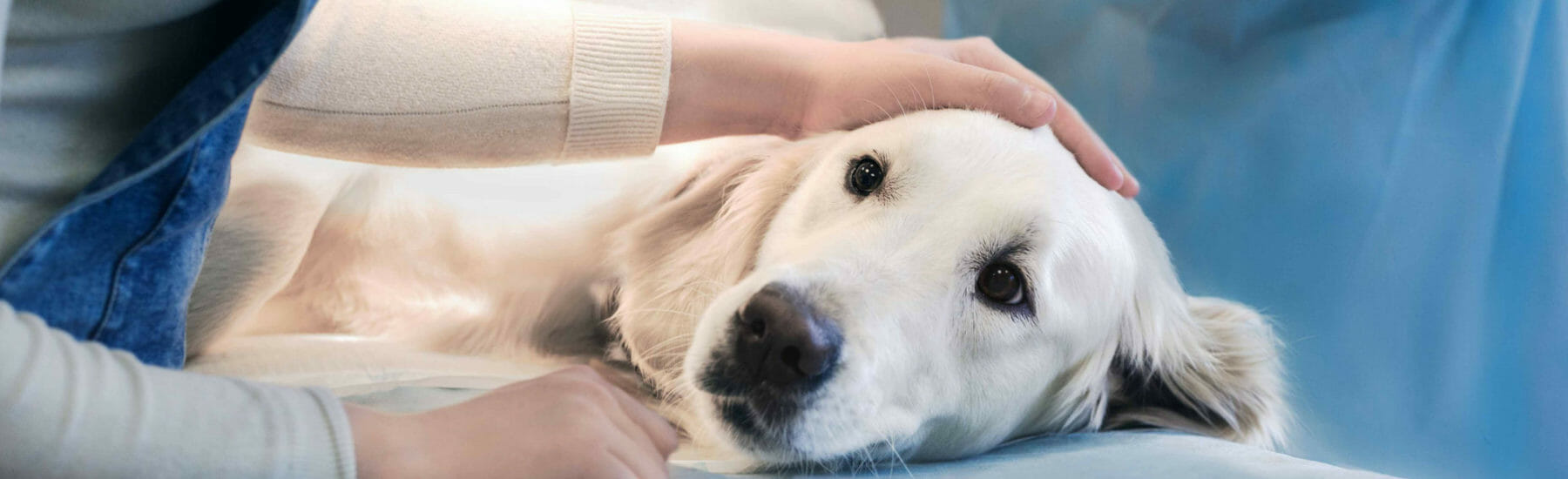 Large white dog laying on side with owner petting head