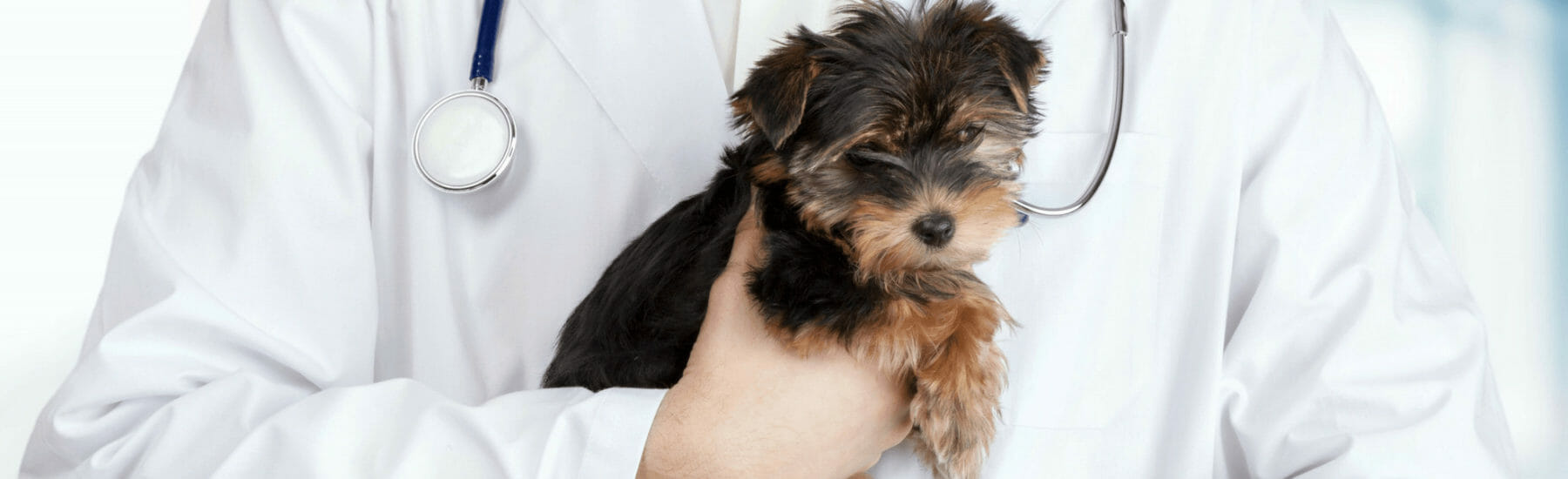 Small black dog being held by veterinarian