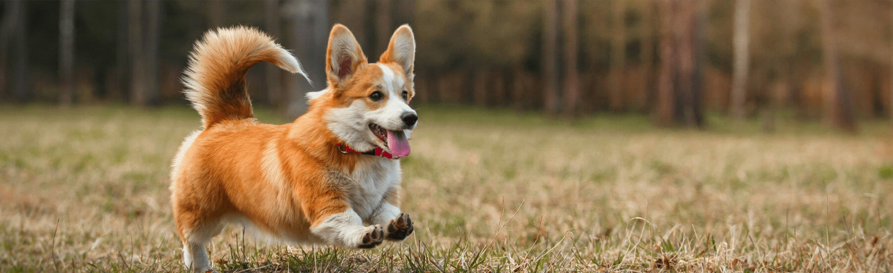 Small orange dog running through a field